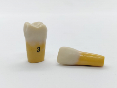 Columbia Dentoform Ivorine Dentine Tooth 860